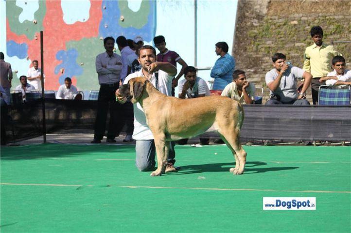 sw-1,ex-107, mastiff, BILLO, Mastiff- English, DogSpot.in