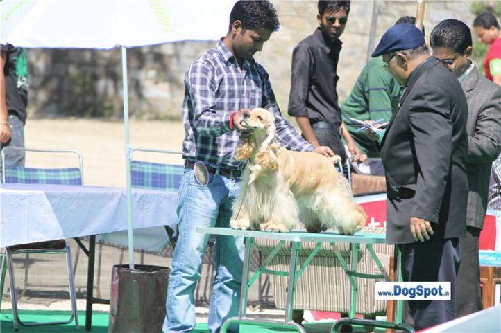 cocker,, Shimla 2010, DogSpot.in