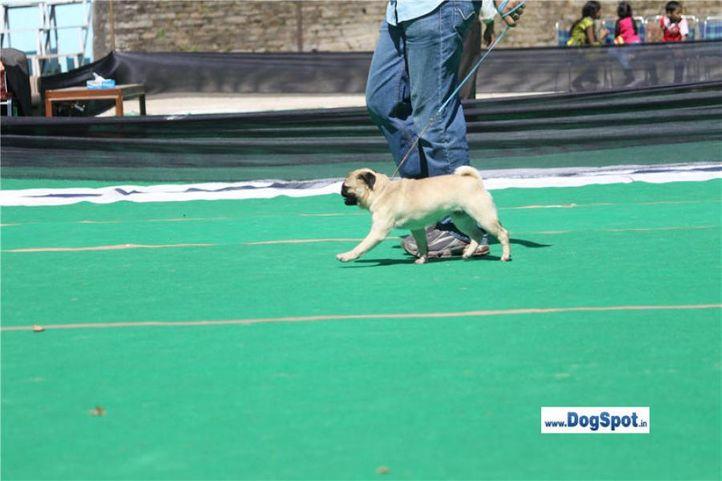 sw-1,ex-14,pug,, Chelsea of Masaba, Pug, DogSpot.in