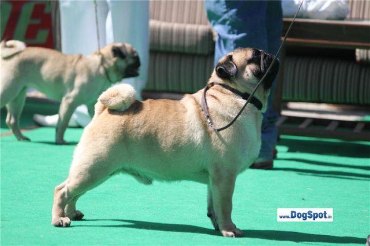 sw-1,ex-9,pug,, CH. Blazing Boy of Sunnyland, Pug, DogSpot.in