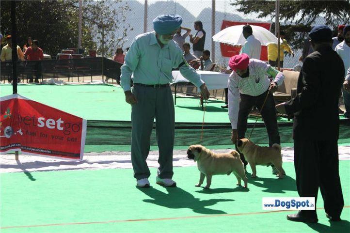 sw-1,ex-16,pug,, Shimla 2010, DogSpot.in