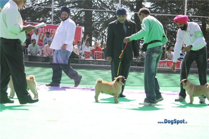 pug,, Shimla 2010, DogSpot.in