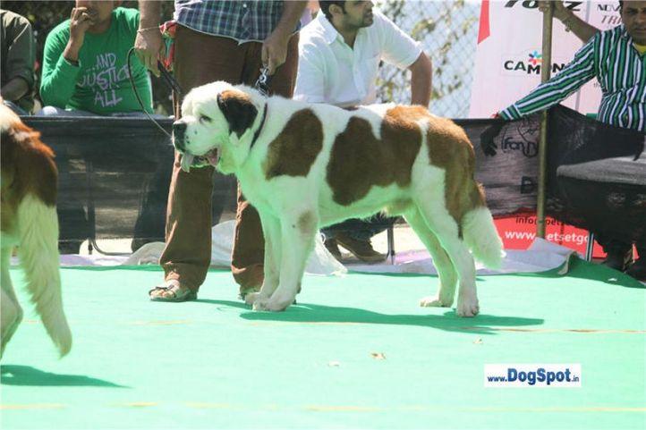 st bernard,, Shimla 2010, DogSpot.in