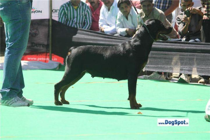 sw-1,ex-131,rottweiler,, ANGELINA, Rottweiler, DogSpot.in