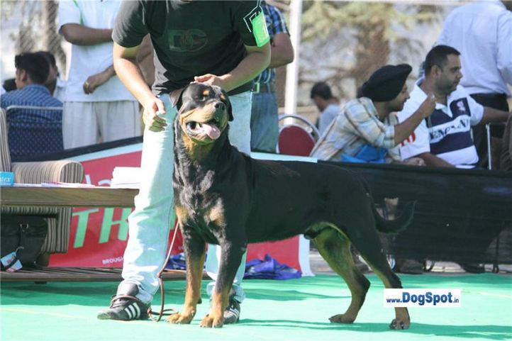sw-1,ex-116,rottweiler,, TANGO CHARLIE, Rottweiler, DogSpot.in