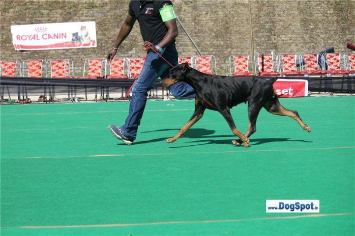 doberman,rottweiler,, Shimla 2010, DogSpot.in