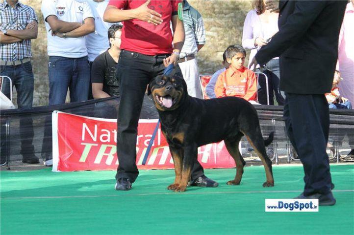 sw-1,ex-114,rottweiler,, OTTO VOM HAUSE EDELSTEIN, Rottweiler, DogSpot.in