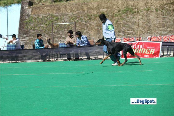 doberman,, Shimla 2010, DogSpot.in