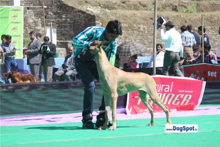sw-1,ex-101,great dane,, Shimla 2010, DogSpot.in