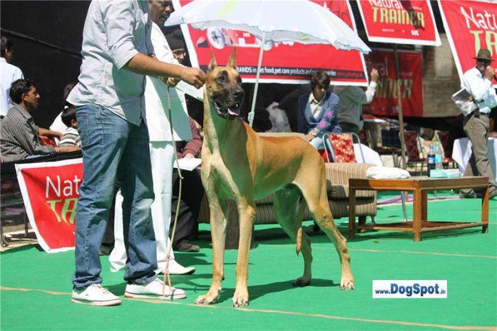 great dane,, Shimla 2010, DogSpot.in