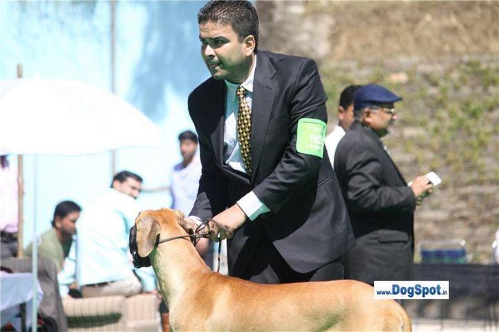 sw-1,ex-102,great dane,, Shimla 2010, DogSpot.in