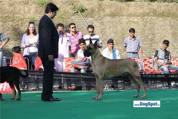 sw-1,ex-104,great dane,, Shimla 2010, DogSpot.in