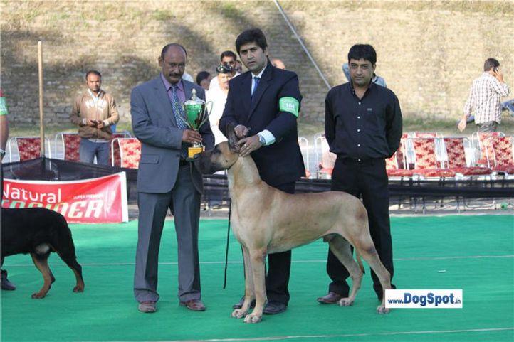 great dane,lineup,, Shimla 2010, DogSpot.in