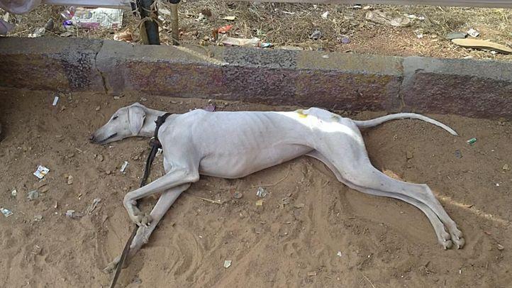 bangalore dog show photos, Sleeping Mudhol Hound, DogSpot.in