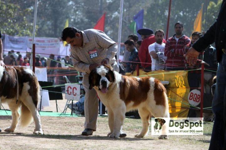 St Bernard,, St Bernard Chandigarh Show 2010, DogSpot.in