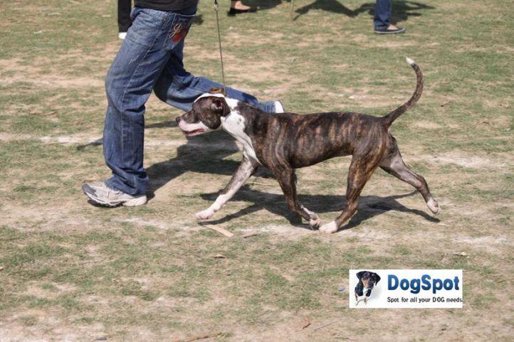 Terrier,, Staffordshire Terrier, DogSpot.in