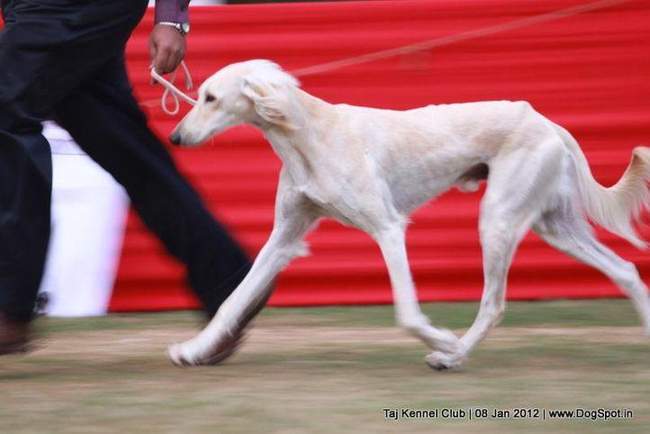 ex-63,hounds,sw-51,, BARAMATI'S BAILEY, Saluki, DogSpot.in
