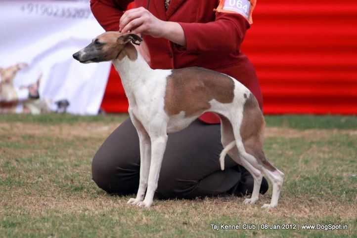 ex-64,hounds,sw-51,, CHIBBER'S MYSTERIOUS GIRL, Whippet, DogSpot.in