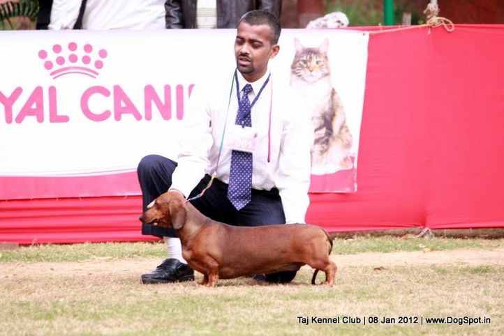 ex-61,hounds,sw-51,, SUSAN, Dachshund Standard- Smooth Haired, DogSpot.in