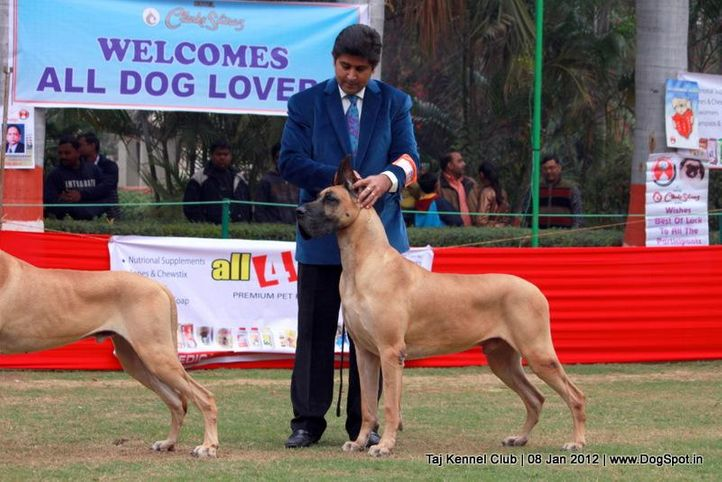 ex-136,great dane,sw-51,, Am.Can.Ind.Ch.Daynakin's Oscar Odyssey V Paquin, Great Dane, DogSpot.in