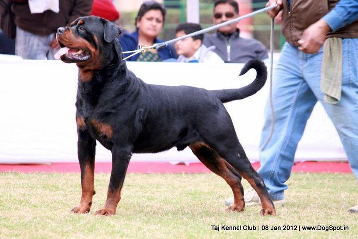 rottweiler,sw-51,, Taj Kennel Club 2012, DogSpot.in