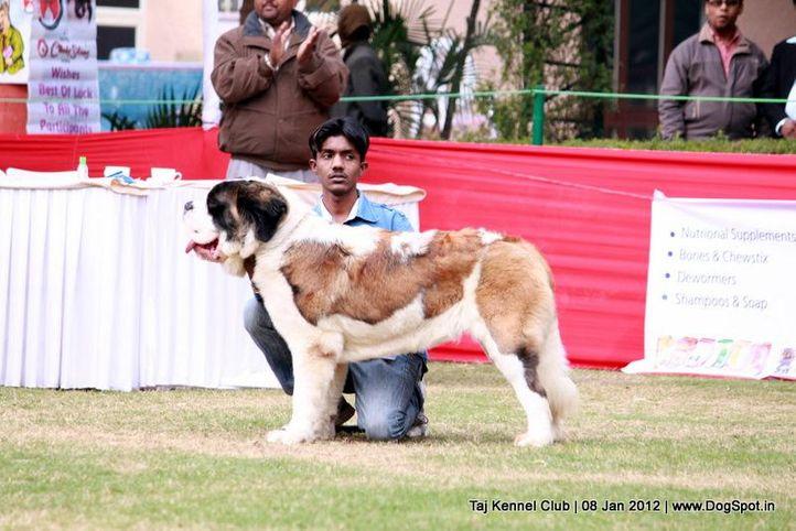 st bernard,sw-51,, Taj Kennel Club 2012, DogSpot.in