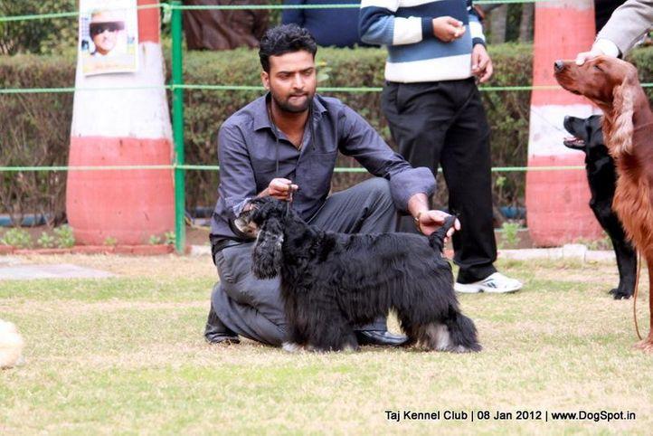 cocker,sw-51,, Taj Kennel Club 2012, DogSpot.in