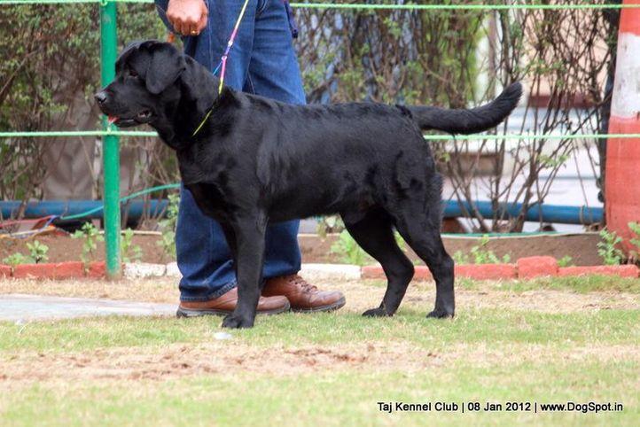 labrador,sw-51,, Taj Kennel Club 2012, DogSpot.in