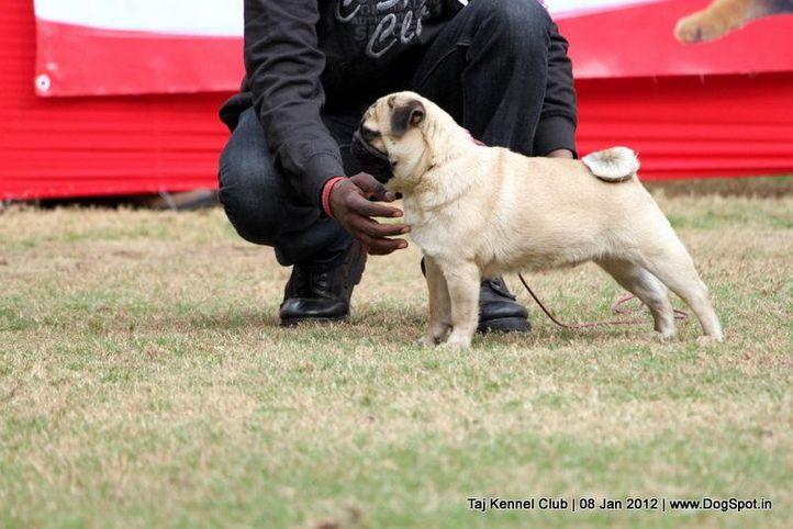 pug,sw-51,, Taj Kennel Club 2012, DogSpot.in