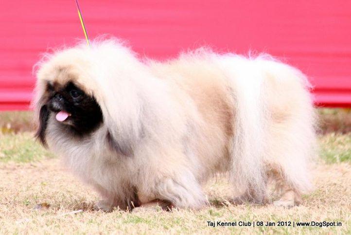 pekingese,sw-51,, Taj Kennel Club 2012, DogSpot.in