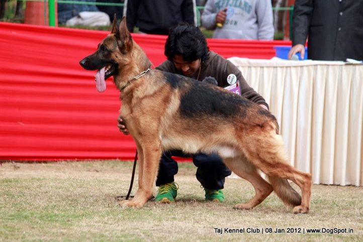 ex-195,gsd,sw-51,, YEROM VOM SUENTELS TELLS, German Shepherd Dog, DogSpot.in