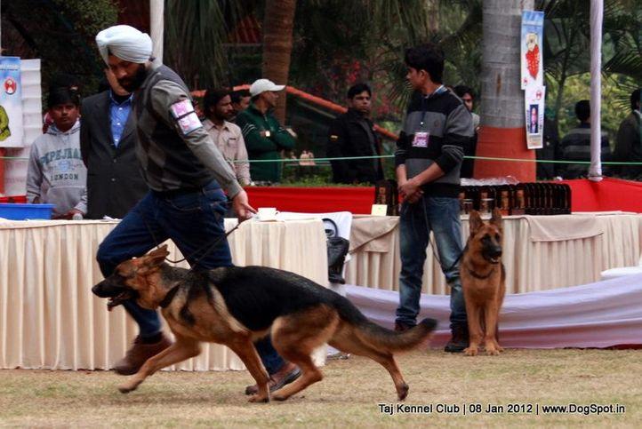 ex-199,gsd,sw-51,, JUMA OF ZEDEX, German Shepherd Dog, DogSpot.in