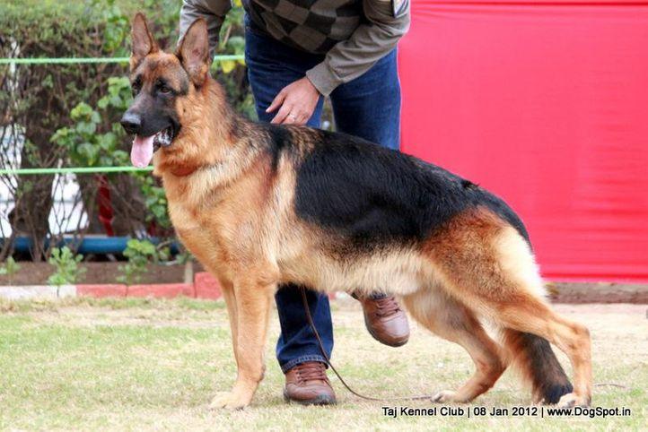 ex-200,gsd,sw-51,, Taj Kennel Club 2012, DogSpot.in