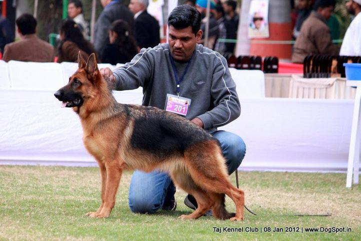 ex-201,gsd,sw-51,, ALENA, German Shepherd Dog, DogSpot.in