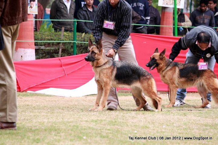 ex-202,gsd,sw-51,, TANZA VON DER ZWEI STUINEN, German Shepherd Dog, DogSpot.in