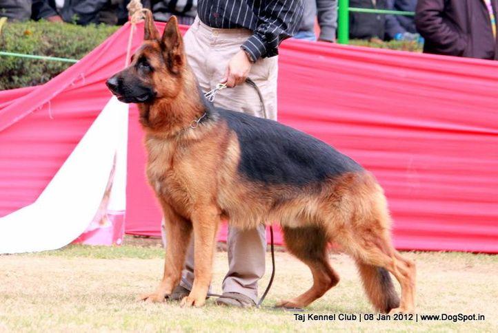 ex-204,gsd,sw-51,, SANARP'S ESKO, German Shepherd Dog, DogSpot.in