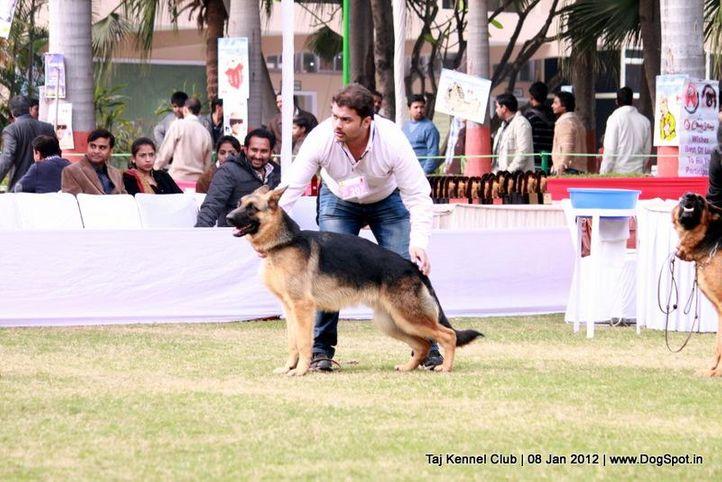 ex-207,gsd,sw-51,, VINITAV'S GARGIL, German Shepherd Dog, DogSpot.in