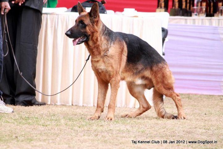 ex-209,gsd,sw-51,, SHAGI, German Shepherd Dog, DogSpot.in