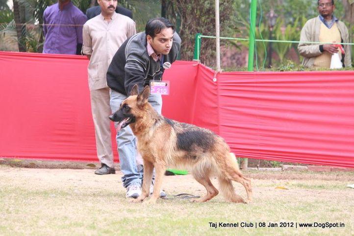 ex-210,gsd,sw-51,, GINA OF ZEDEX, German Shepherd Dog, DogSpot.in