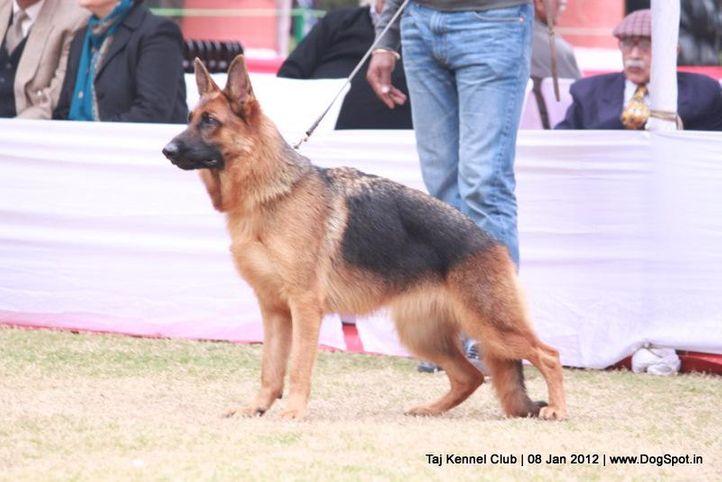 gsd,sw-51,, Taj Kennel Club 2012, DogSpot.in