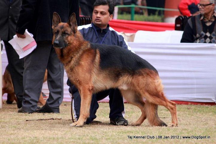 ex-193,gsd,sw-51,, CRACK DES TERRES DE LA SERPENTERIE, German Shepherd Dog, DogSpot.in