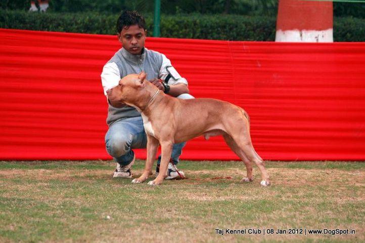 sw-51,terrier,, Taj Kennel Club 2012, DogSpot.in