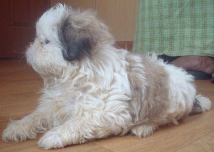 tedy tedyvimalgmailcom puppy, tedy (tedyvimal@gmail.com) puppy, DogSpot.in