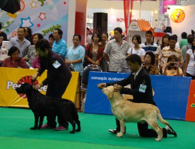 labrador, Thailand International Dog Show, DogSpot.in