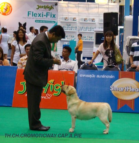 labrador, Thailand International Dog Show, DogSpot.in