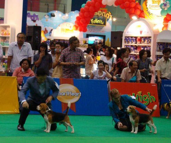 beagle, Thailand International Dog Show, DogSpot.in
