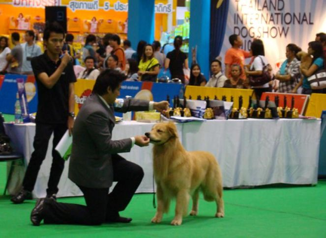 golden, Thailand International Dog Show, DogSpot.in
