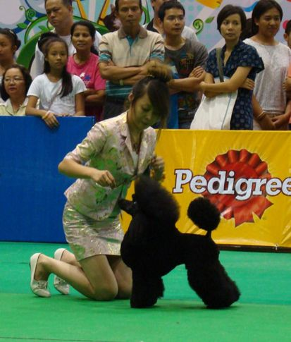 poodle, Thailand International Dog Show, DogSpot.in