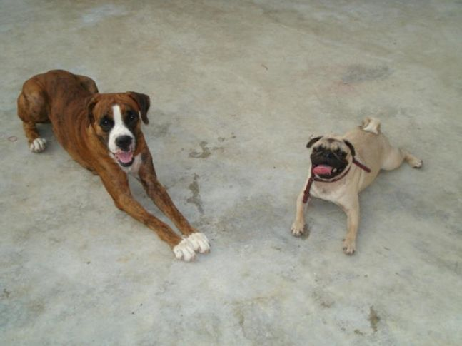 Boxer and Pug, Thanu, DogSpot.in