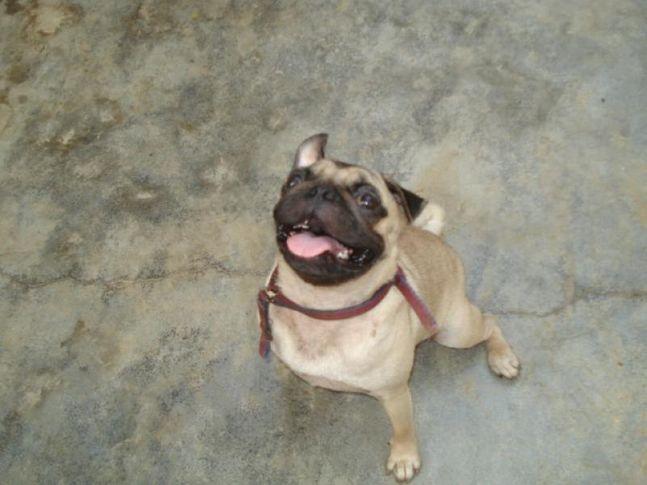 pug,pug puyy, fun pug, Thanu, DogSpot.in